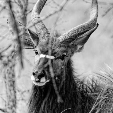 Grace Nyala (Hoedspruit Wildlife Center)