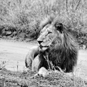 Sa Majesté Lion