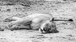 Chasseuse à la sieste