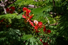 Flamboyant, la fleur