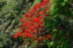 Flamboyant - Rampes de La Montagne